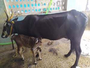 Cow protection is the gift of Hinduism to the world. And Hinduism will live so ling as there are Hindus to protect the cow…… Hindus will be judged not by their TILAKS, not by the correct chanting of MANTRAS, not by their pilgrimages, not by their most punctilious observances of caste rules, but their ability to protect the cow